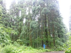 福島町道有林のスギ(樹齢約90年、樹高約30m、胸高径約100cm)