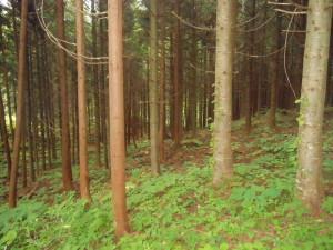 スギとトドマツの混植試験林
