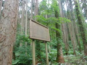 釜谷地区のスギ見本林(樹齢90~93年生)