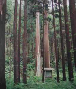 松前町池の岱のスギ林